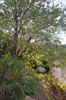 Almond Tree_628