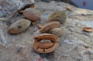 Almond Tree_629